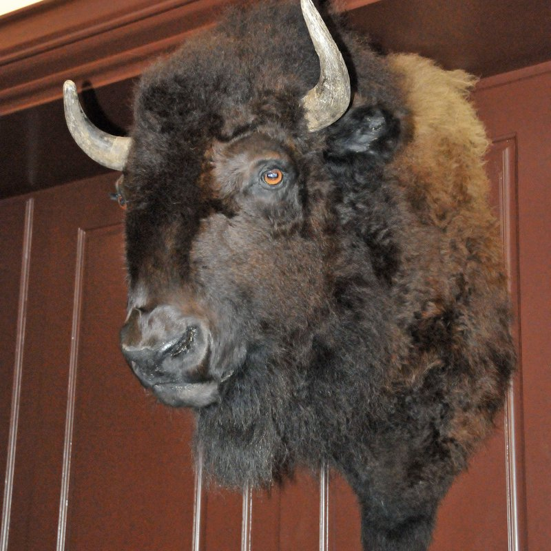Joe the Bison