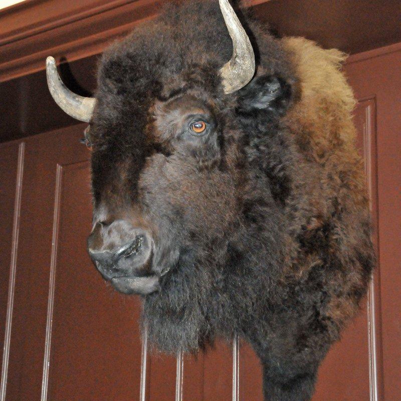 Joe the Bison